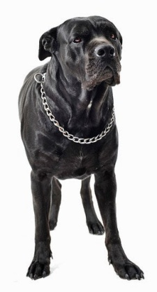 composite picture with purebred  italian mastiff in a white background