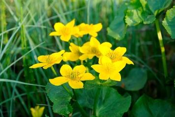 bigstock-Marsh-Marigold-caltha-Palustr-85341848